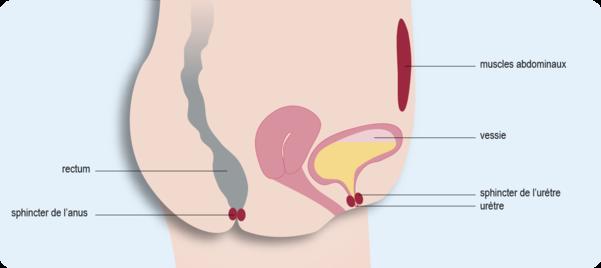 coupe sagittale de l'appareil urinaire féminin