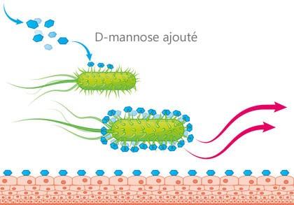 Paroi de la vessie avec D-mannose ajouté
