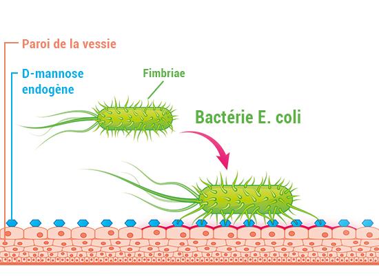 sc^héma de la paroi de la vessie avec la bactérie E. coli