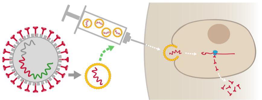 dessin schématique d'une seringue injectant le vaccin anti-Covid dans le corps humain